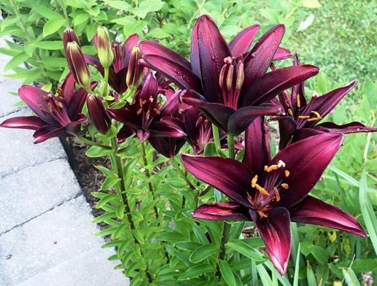 Lilium asiatic Landini