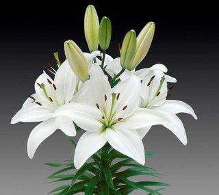 Lilium oriental alb