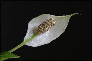 Floare de Crinul pacii