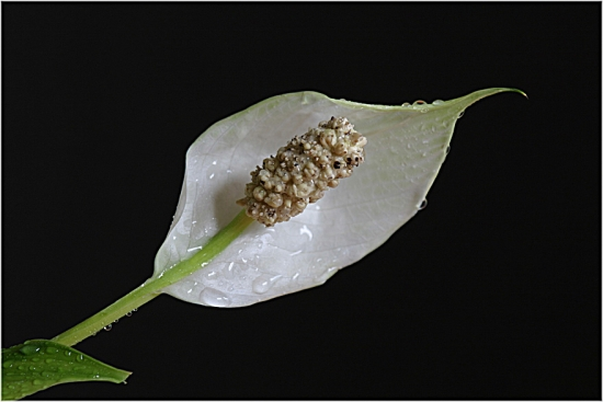 Crinul Pacii , Floarea Lunii sau Spathiphyllum - ingrijire si inmultire