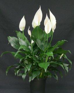 Spathiphyllum wallisii planta depoluanta