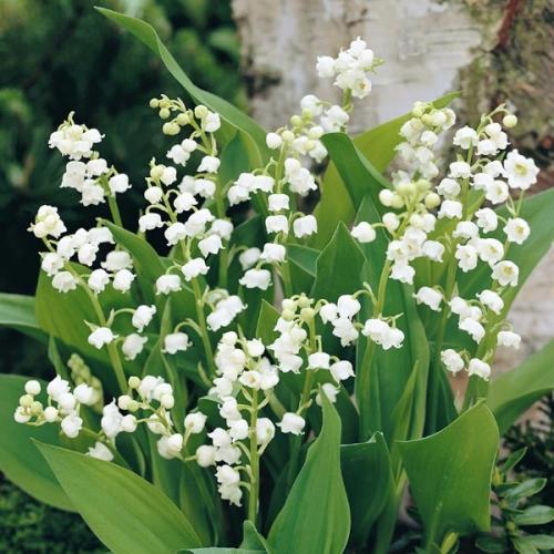 Lacramioarele - Cultivarea, inmultirea si obtinerea unei culturi fortate