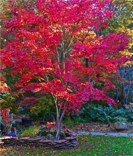 Copac mare cu multe frunze rosii