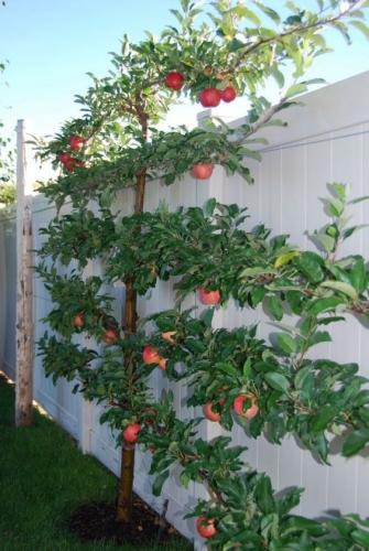 Cum sa plantezi corect un copac pentru a culege roade de calitate