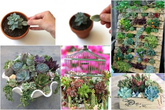 Cum inmultesti singur plantele suculente