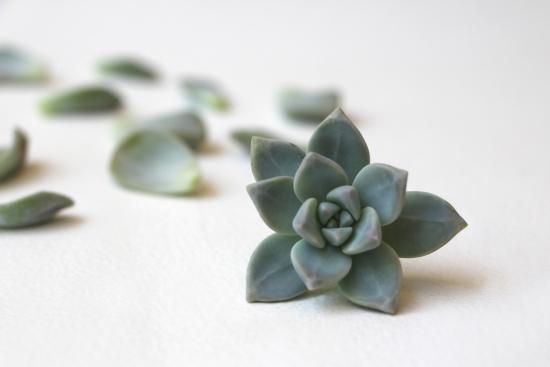 Planta suculenta pentru inmultire
