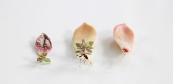 Plante suculente minuscule