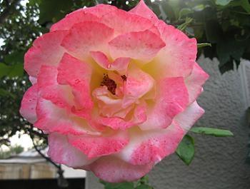 Trandafir cu floare alb roz