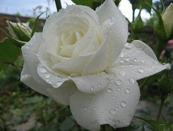 Amenajare gradina trandafir alb
