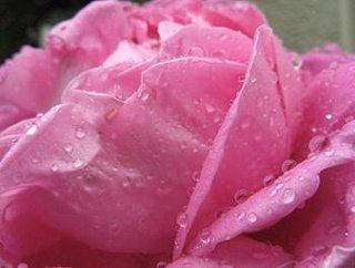 Amenajare gradina trandafir roz petale