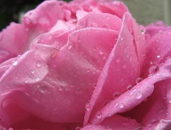 Trandafir cu petale roz