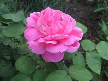 Amenajarea unei gradini cu trandafiri mov