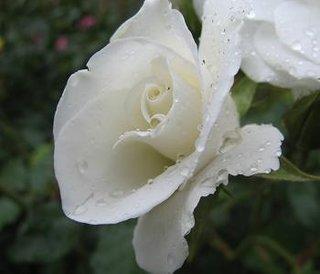 Boboc alb de trandafir