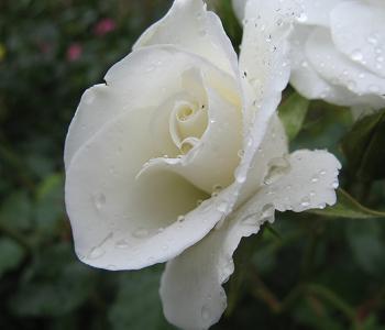 Amenajarea unei gradini cu trandafiri | Cum se prind butasii