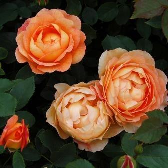 Trandafir Lady of shalott portocaliu
