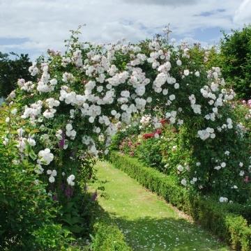 Trandafir alb catarator adelaide d orleans pentru pergole