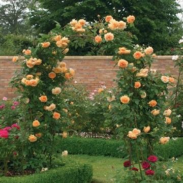 Trandafir catarator culoarea portocaliu caisa