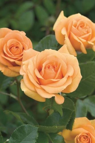 Trandafir din soil tea hibrid