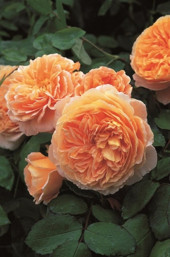 Trandafir englezesc cu cupa putin adanca Crown Princess Margareta