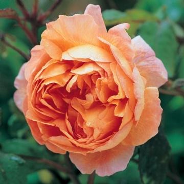 Trandafir englezesc parfumat Lady Emma Hamilton
