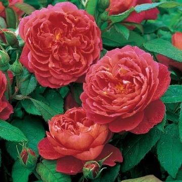 Trandafir englezesc pentru ghiveci rosu cu putin portocaliu