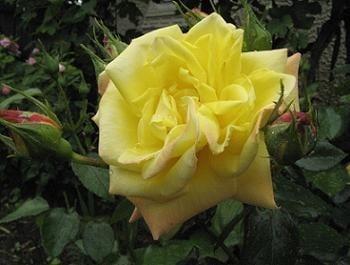 trandafir galben de gradina
