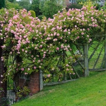 Trandafir roz somon cu floare medie paul noel catarator