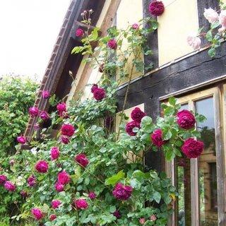 Trandafir urcator Falstaff pentru coloane