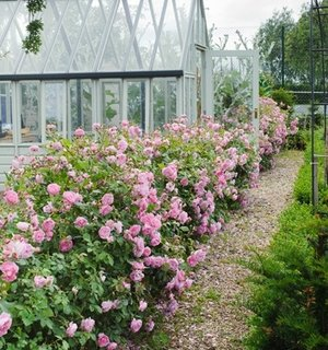 Trandafiri roz cu floare medie pentru borduri