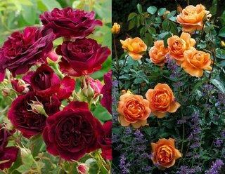 Trandafiri visinii si portocalii