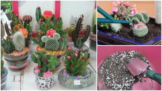 Provocare inflorire la cactus de ghiveci