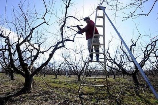 Sfaturi pentru taierea pomilor fructiferi