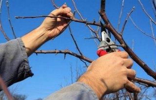 Taiere corecta pomi fructiferi