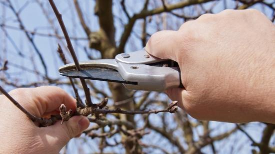 Taierea pomilor fructiferi pentru incepatori