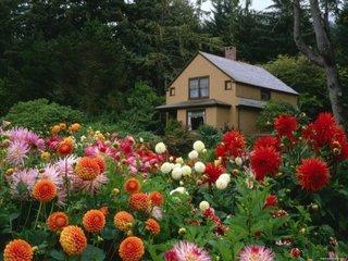 Poeinita cu flori dalii inalte colorate pentru case la munte