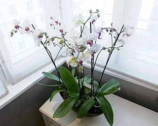 Ghiveci cu orhidee asezat langa geam