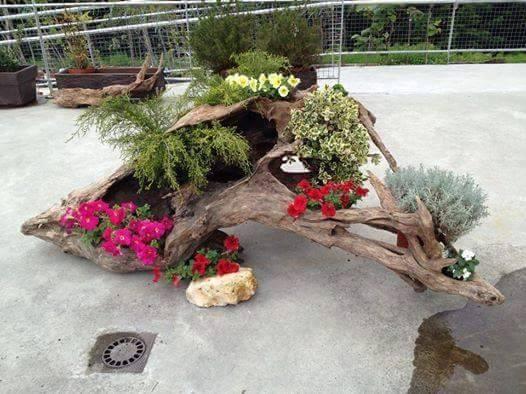 Trunchi de copac putrezit folosut ca si ghiveci