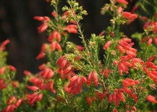 Erica rosie floare cu inflorire toata iarna