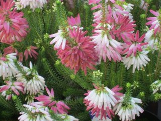 Erica spp cu flori albe si roz