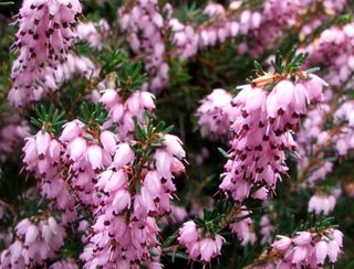 Floare de erica lila