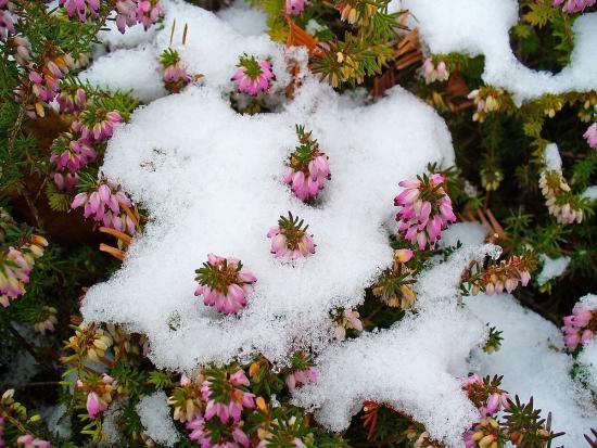 Plante care infloresc iarna in gradina in zapada