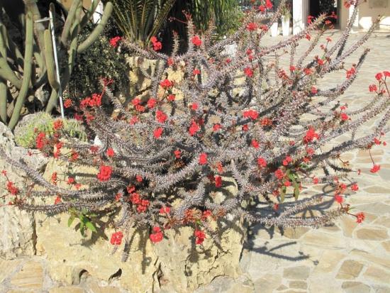 Cactus Euphorbia milii Monaco