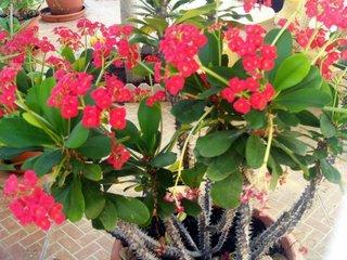 Euphorbia milii in ghiveci