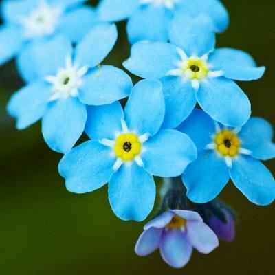 Floarea de Nu-ma-uita - Myosotis