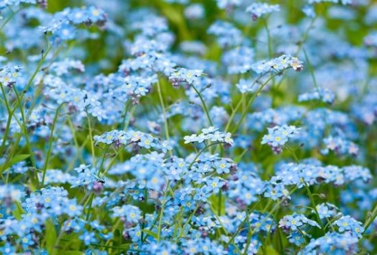 Myosotis sau flori de Nu ma uita in gradina