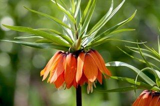 Fritillaria imperialis coroana imperiala portocalie