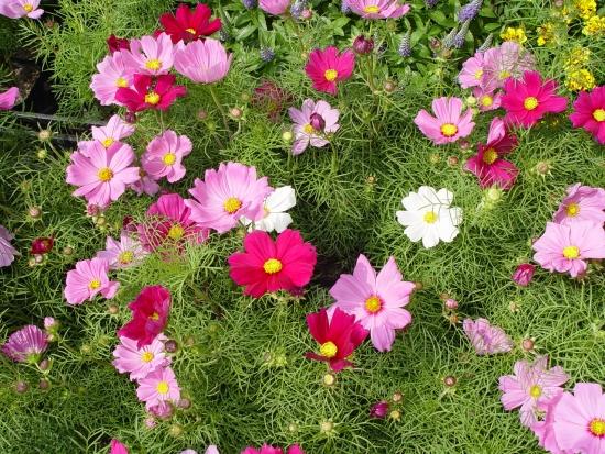 Mararite cosmos bipinnatus roz si mov