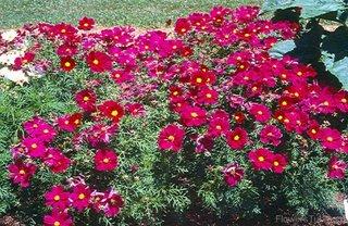 Planta Cosmos Bipinnatus cu flori ciclam