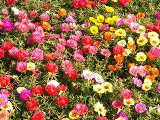 Amestec de flori de piatra colorate in gradina