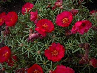 Floare de piatra rosu intens